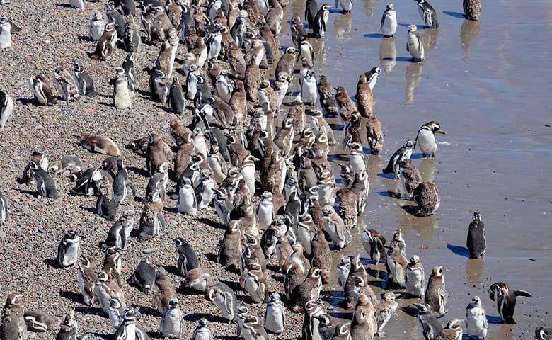 פינגווינים בשמורת פונטה טמבו