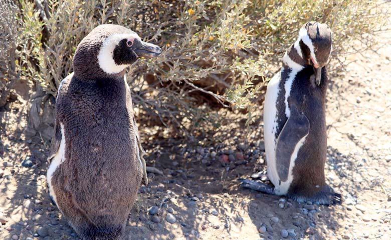 טיול לפטגוניה - פינגווינים בשמורת פונטה טמבו