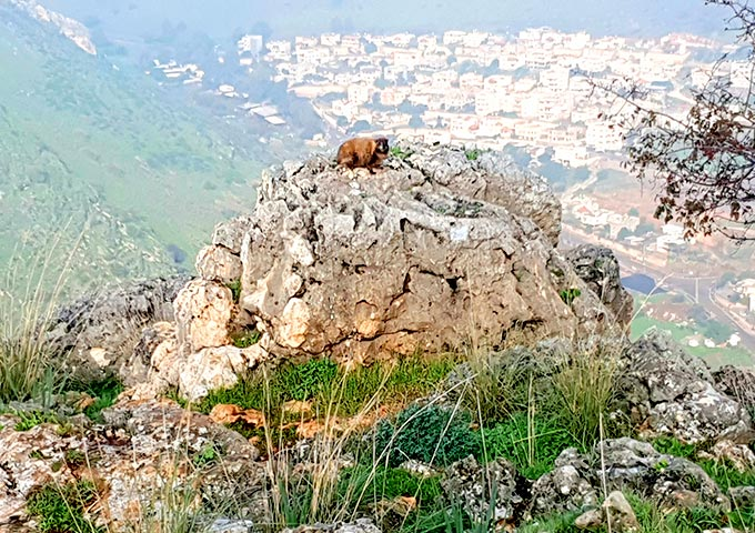 שפן סלע בארבל